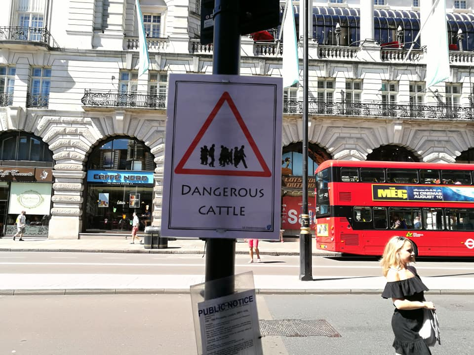 Piccadilly cattle